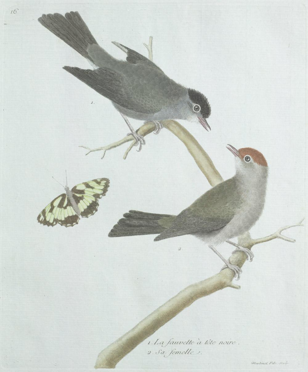 Plate 16: 1. La Fauvette à Tête Noire. 2. Sa Femelle,  Image number:SIL13-1-37b