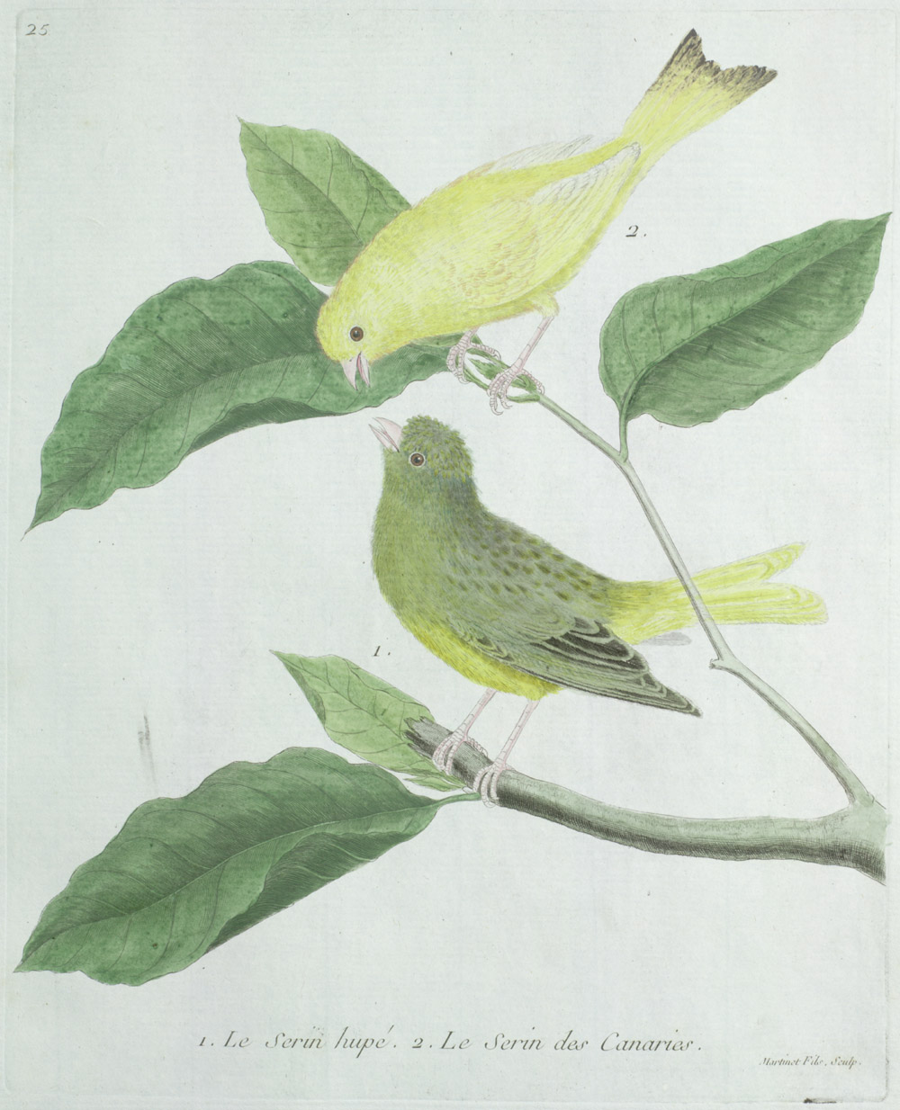Plate 25: 1. Le Serin Hupé. 2. Le Serin des Canaries.,  Image number:SIL13-1-55b