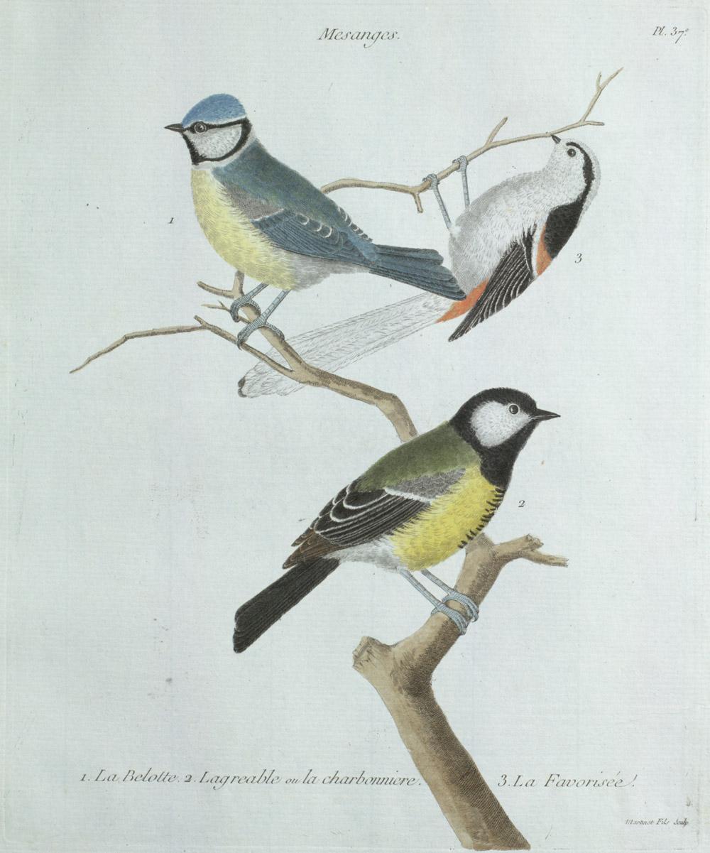 Plate 37: 1. La Belotte. 2. Lagreable ou la Mesanges Charbonniere. 3. La Favorisée,  Image number:SIL13-1-79b