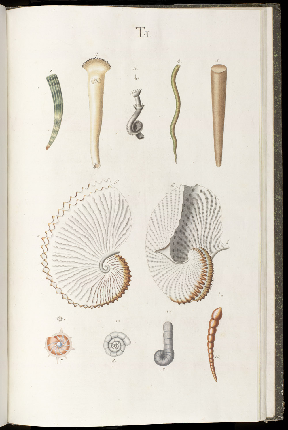 Color illustrations of seashells (univalves),  Image number:SIL6-1-115a