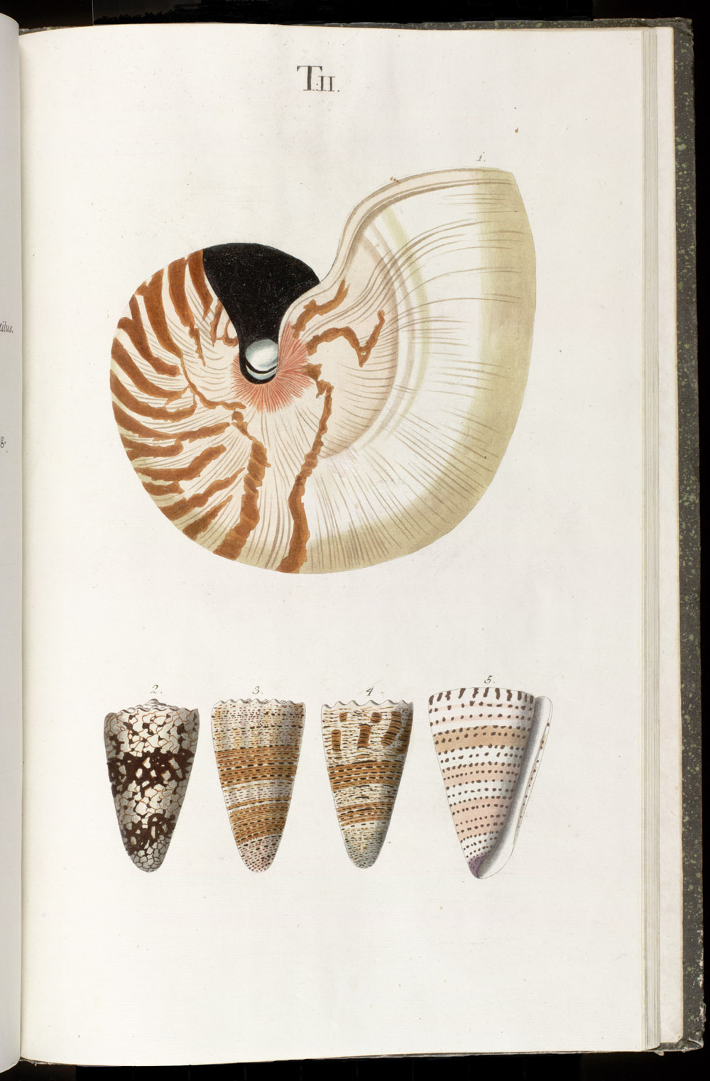 Color illustrations of seashells (univalves ; Nautilus),  Image number:SIL6-1-119a