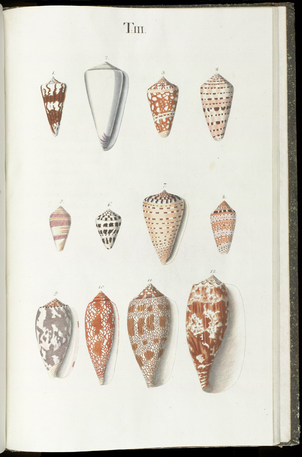 Color illustrations of seashells (univalves),  Image number:SIL6-1-123a