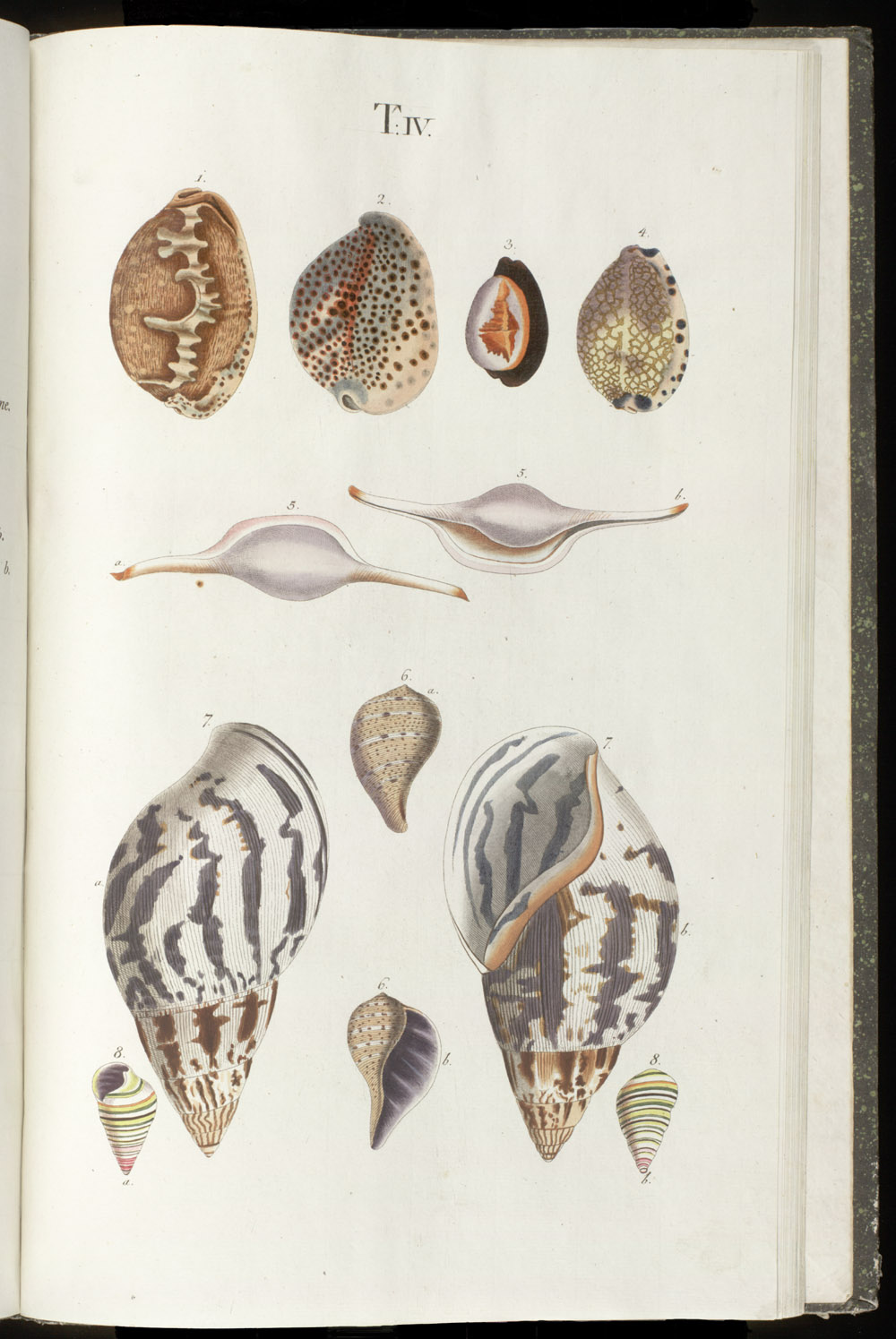 Color illustrations of seashells (univalves),  Image number:SIL6-1-127a