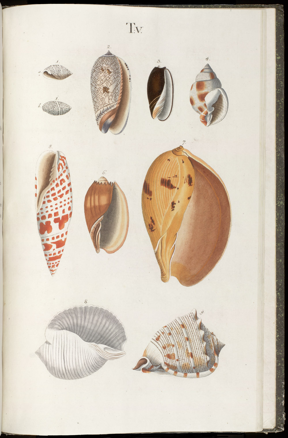 Color illustrations of seashells (univalves),  Image number:SIL6-1-131a