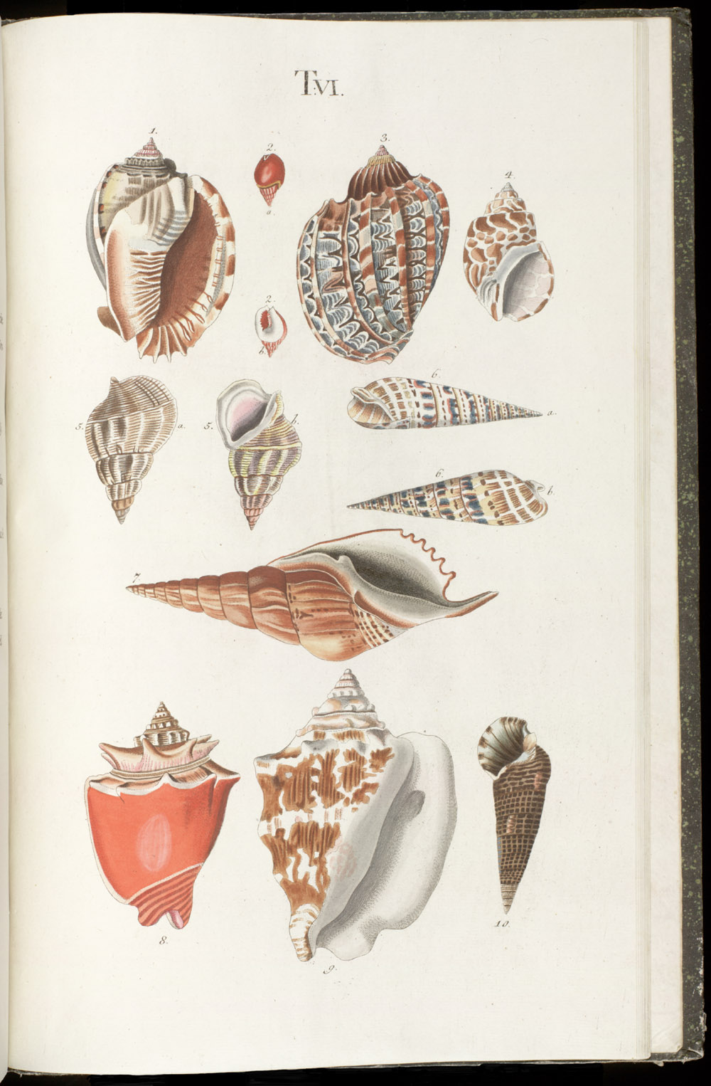 Color illustrations of seashells (univalves),  Image number:SIL6-1-135a