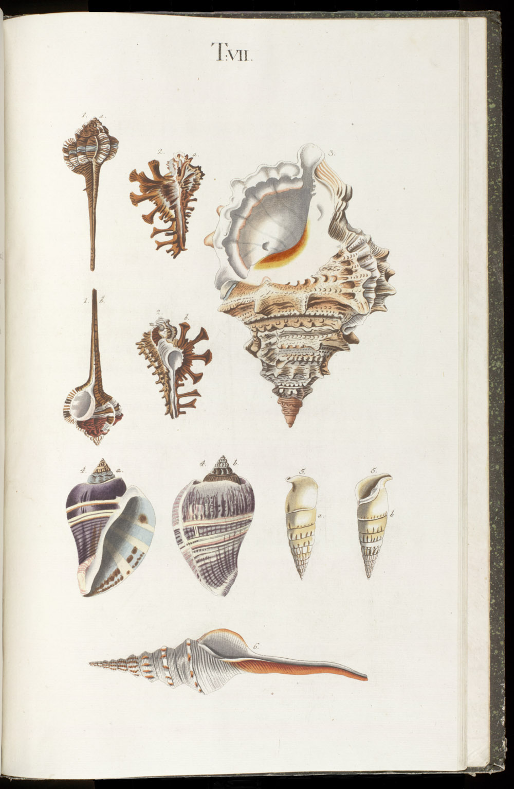 Color illustrations of seashells (univalves),  Image number:SIL6-1-139a