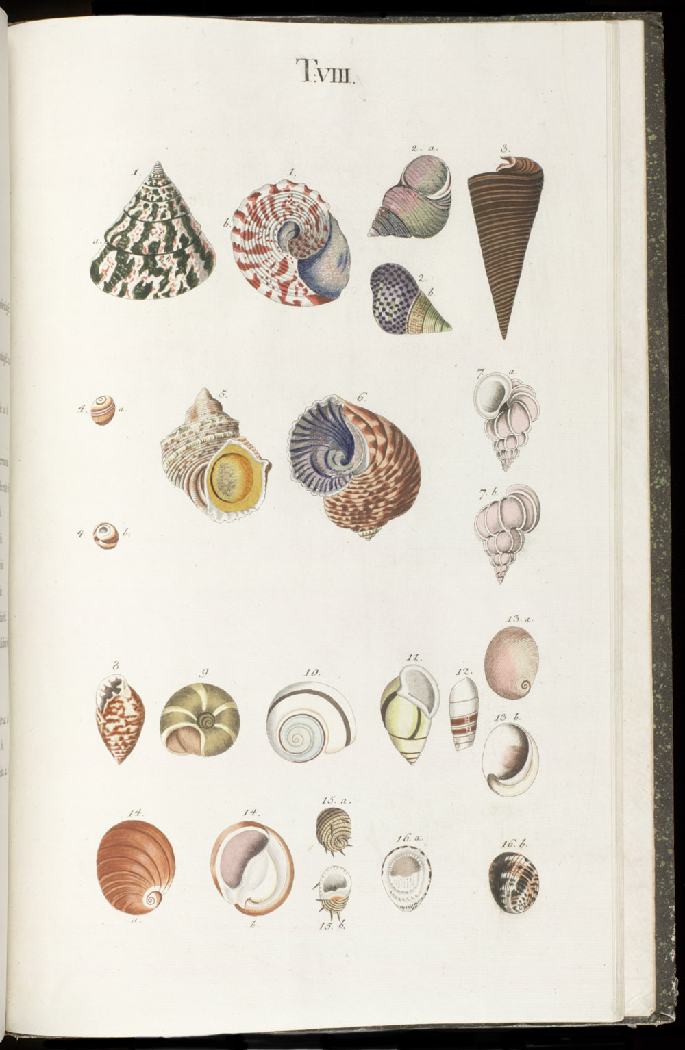 Color illustrations of seashells (univalves),  Image number:SIL6-1-143a