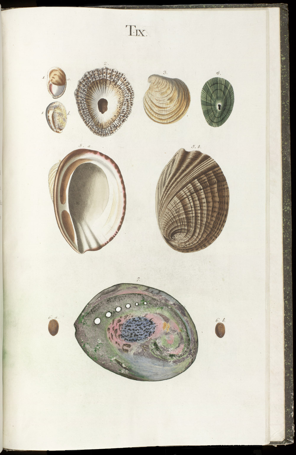 Color illustrations of seashells (bivalve ; abalone),  Image number:SIL6-1-147a