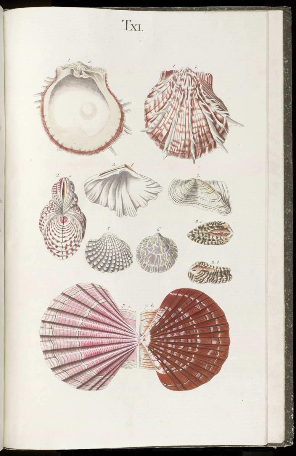 Color illustrations of seashells (bivalve),  Image number:SIL6-1-155a