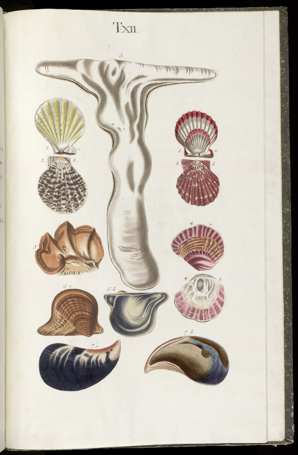 Color illustrations of seashells (bivalve),  Image number:SIL6-1-159a
