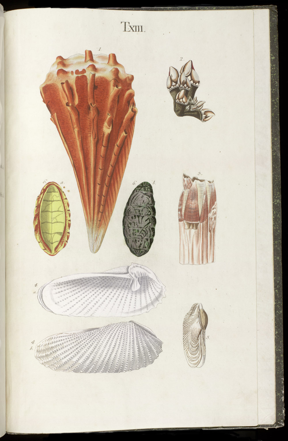Color illustrations of seashells (bivalve),  Image number:SIL6-1-163a