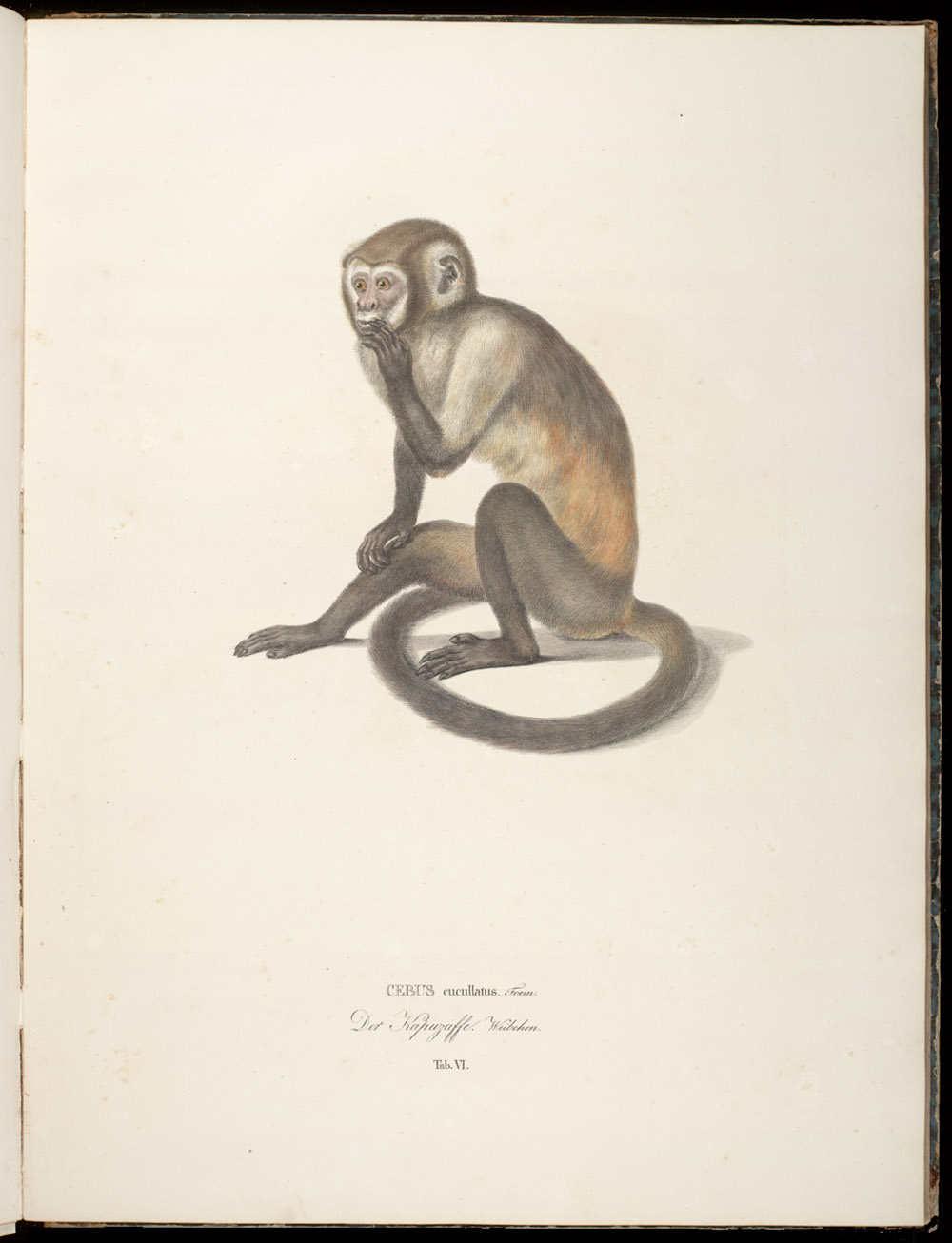 Monkey (New World),  Image number:SIL6-2-103a