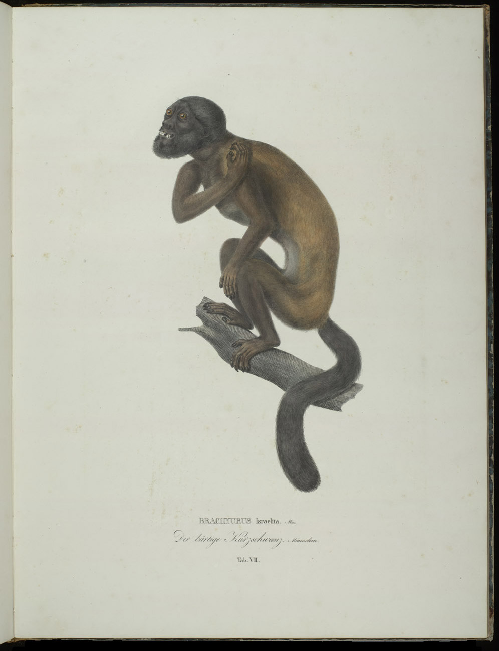 Monkey (New World),  Image number:SIL6-2-105a