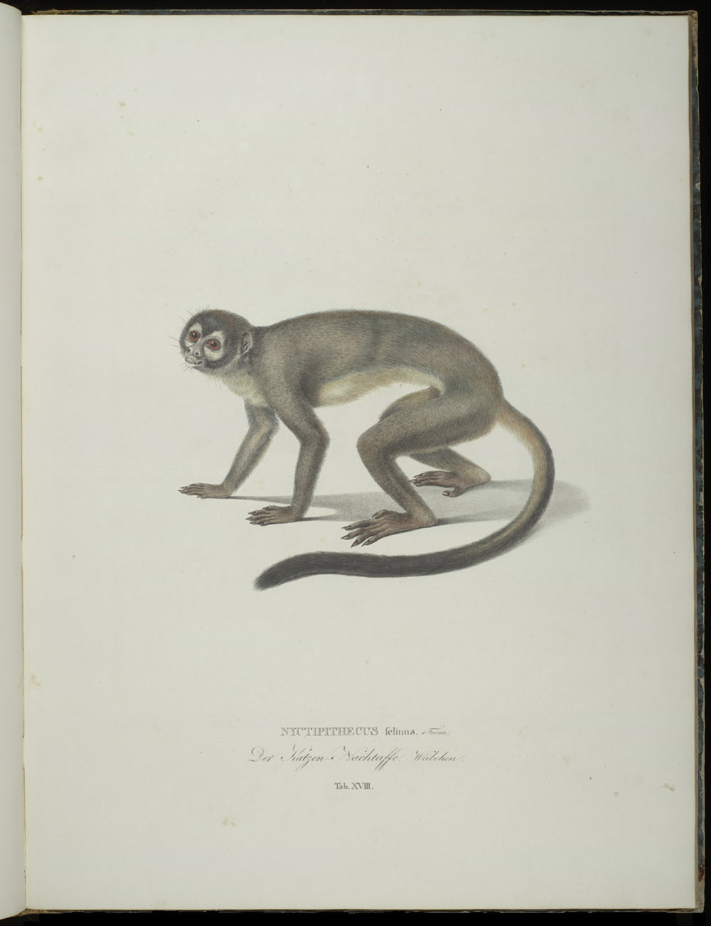Monkey (New World),  Image number:SIL6-2-127a