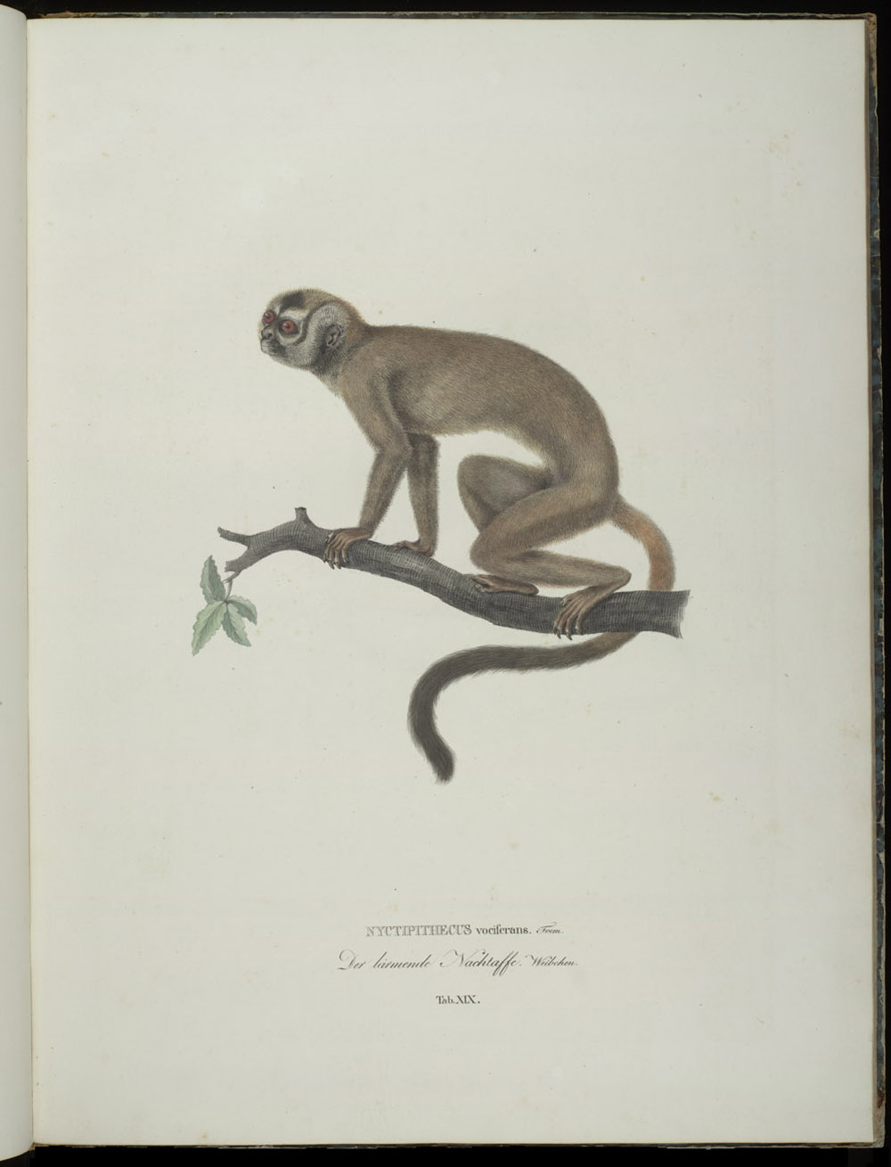 Monkey (New World),  Image number:SIL6-2-129a