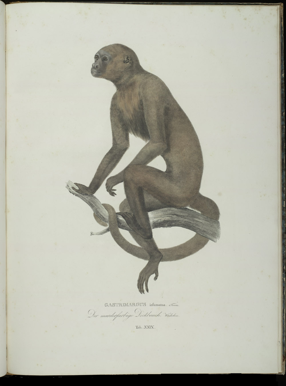 Monkey (New World),  Image number:SIL6-2-149a