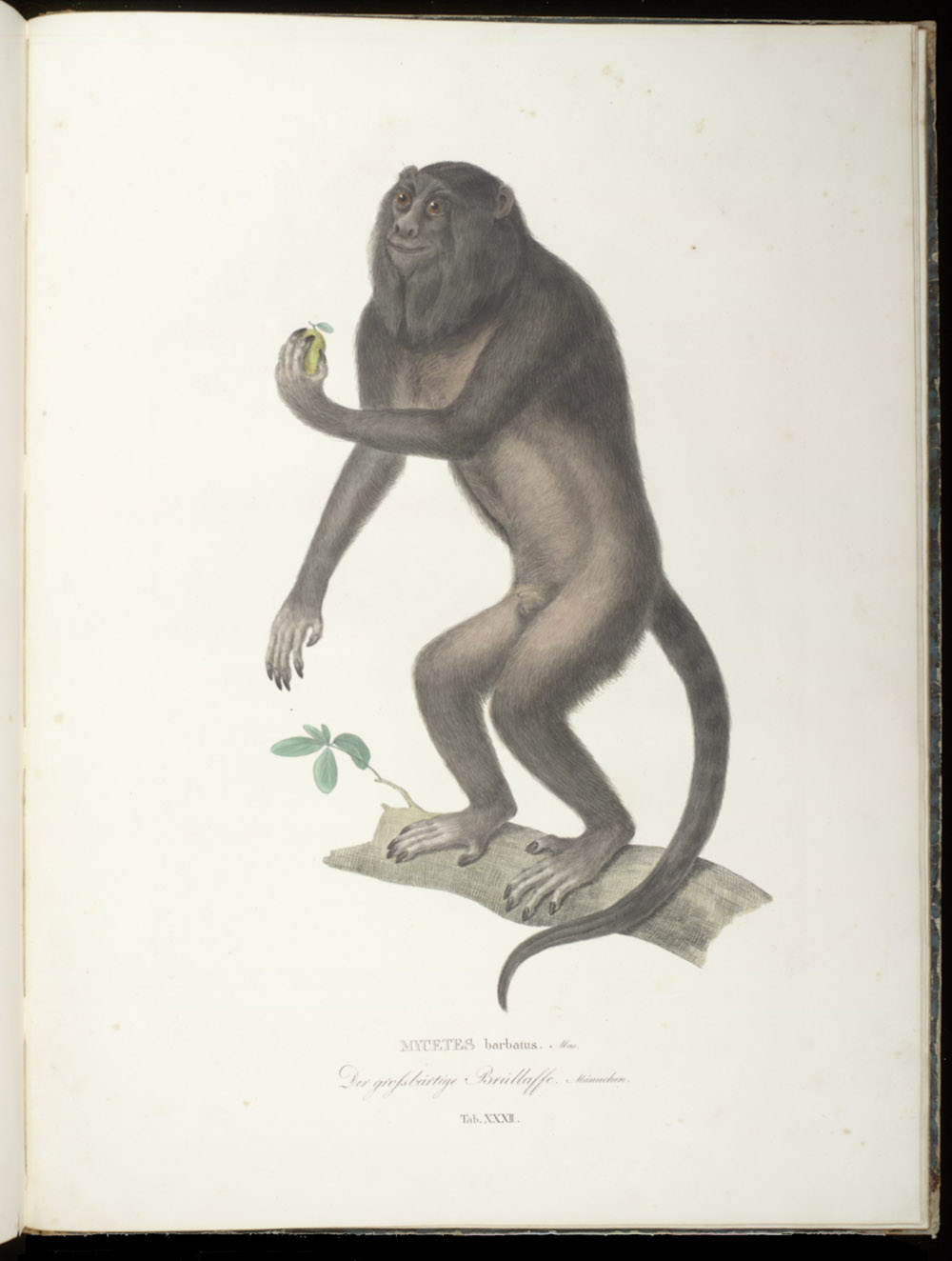 Monkey (New World),  Image number:SIL6-2-155a