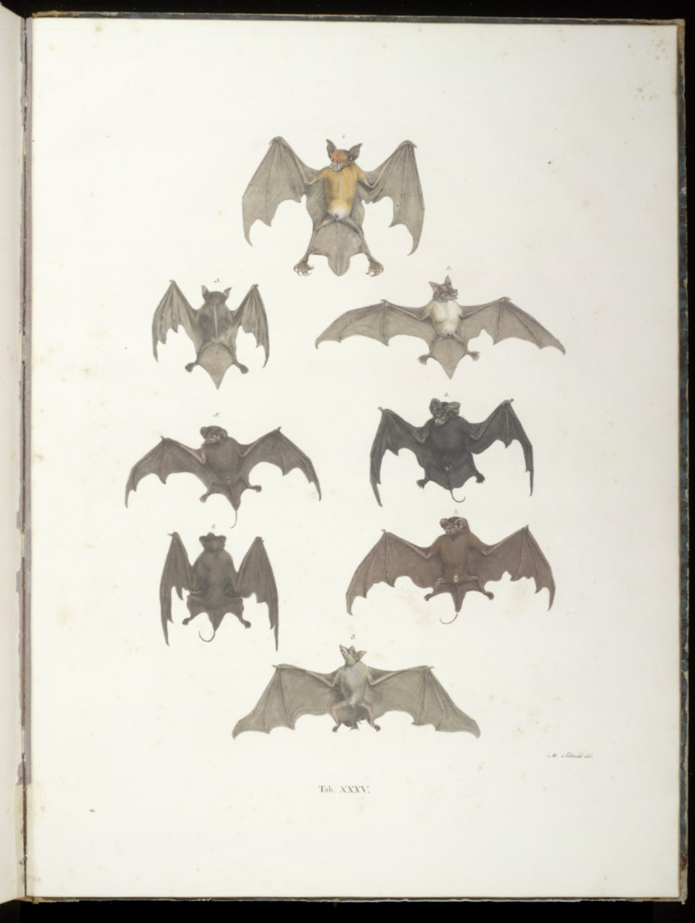 Bats,  Image number:SIL6-2-161a