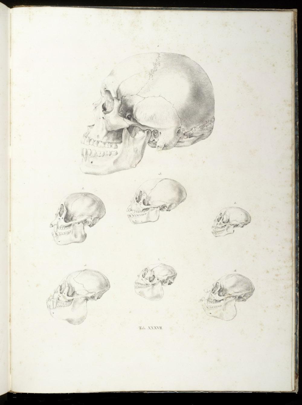 Tab. XXXVII: Monkey skulls,  Image number:SIL6-2-165a