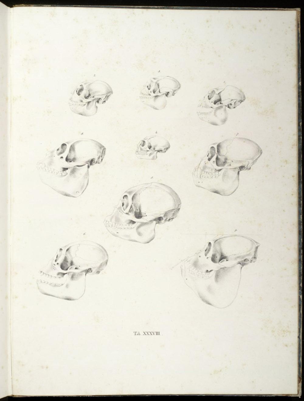 Tab. XXXVIII: Monkey skulls,  Image number:SIL6-2-167a