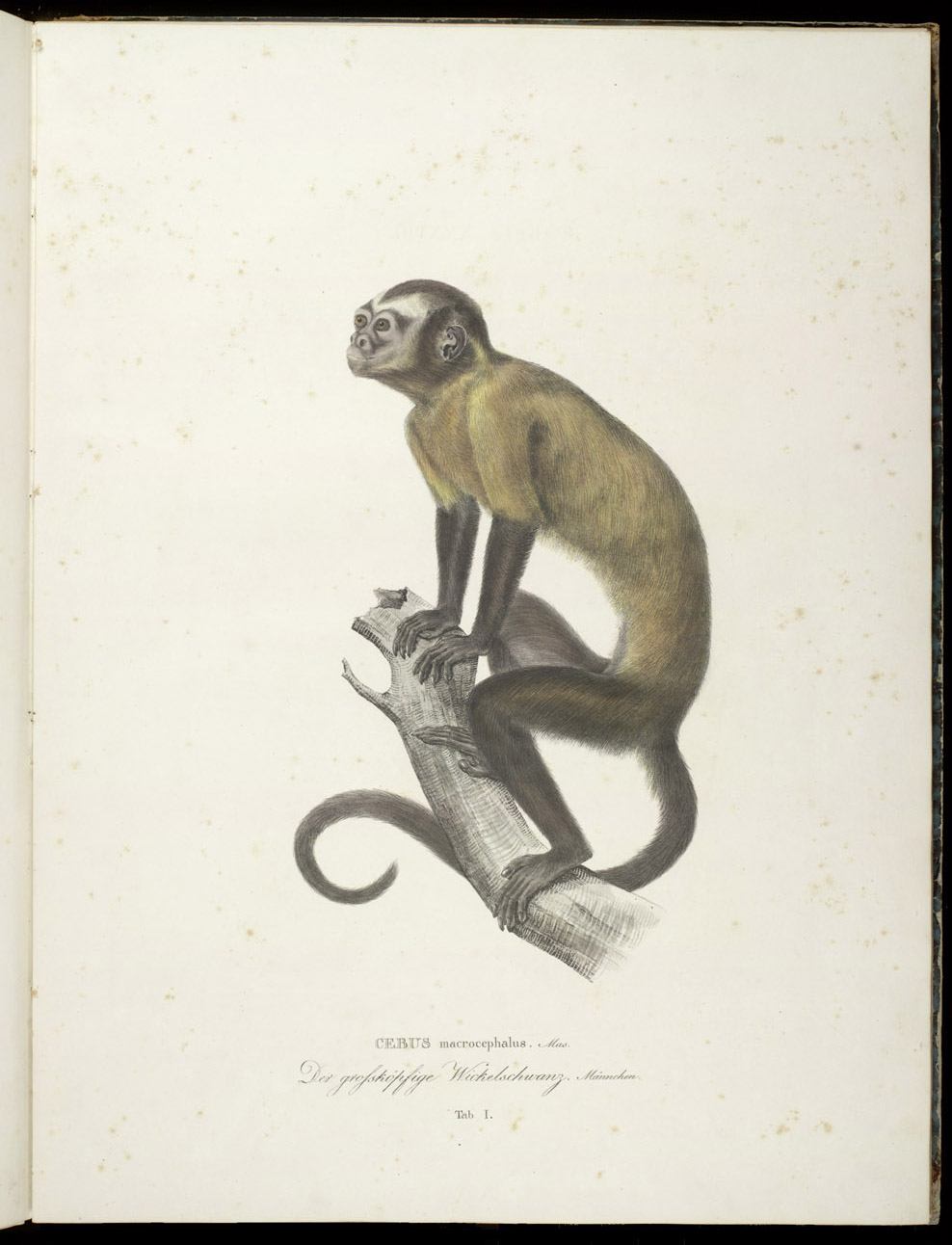 Monkey (New World),  Image number:SIL6-2-93a