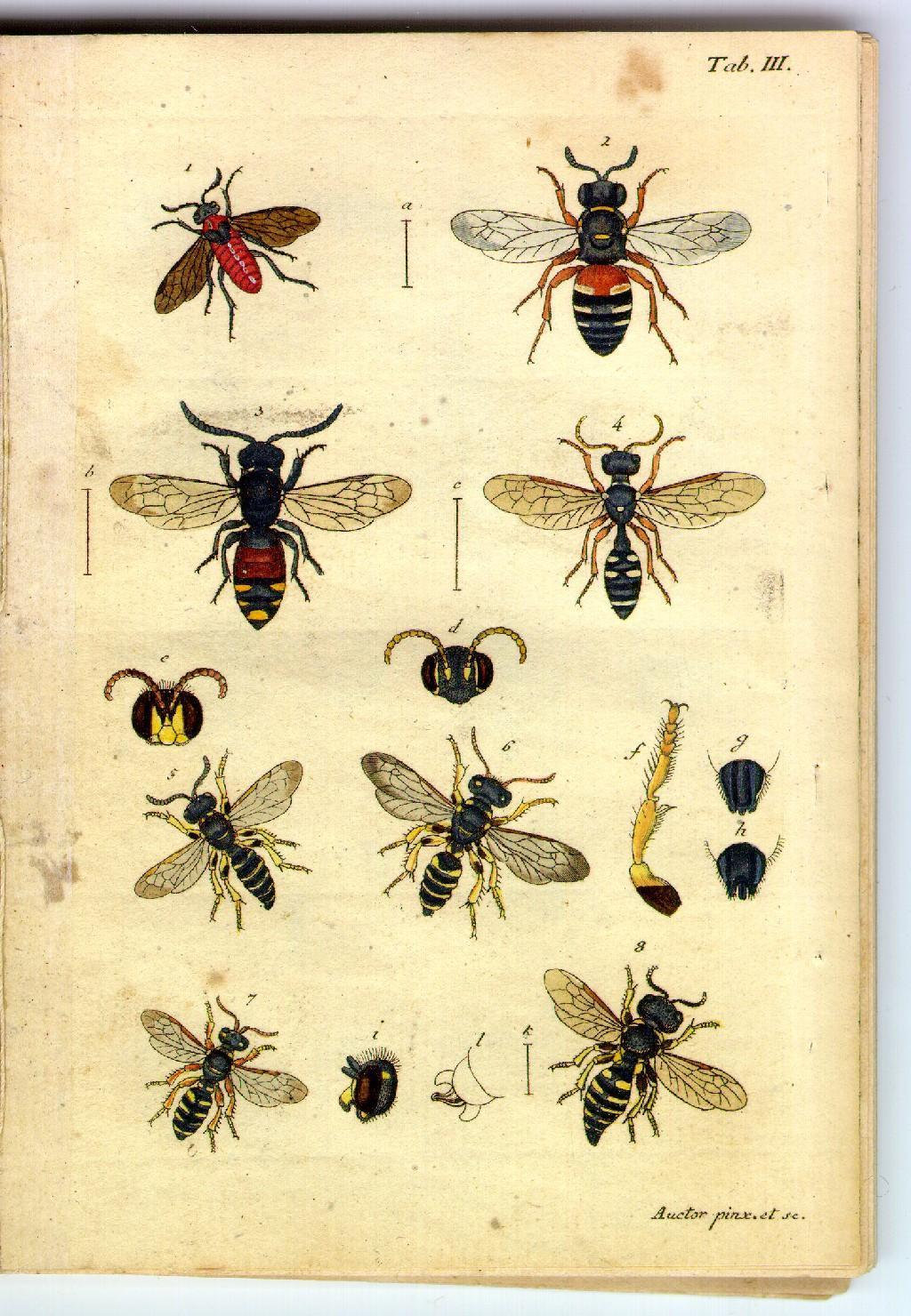 Illustrations of flies and bees,  Image number:sturm-tab-iii
