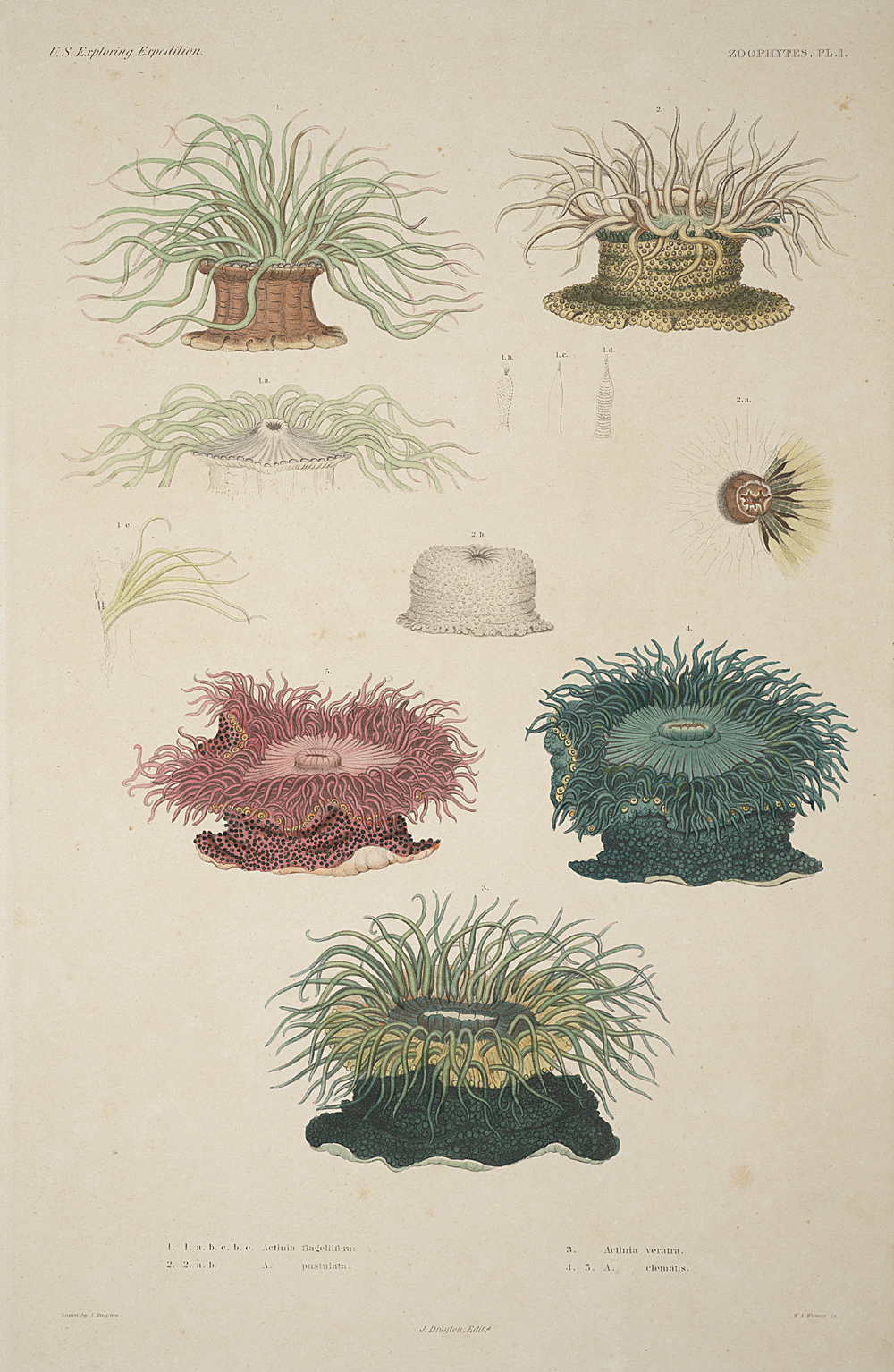 Zoophytes, Plate 1,  Image number:sil19-09-019b