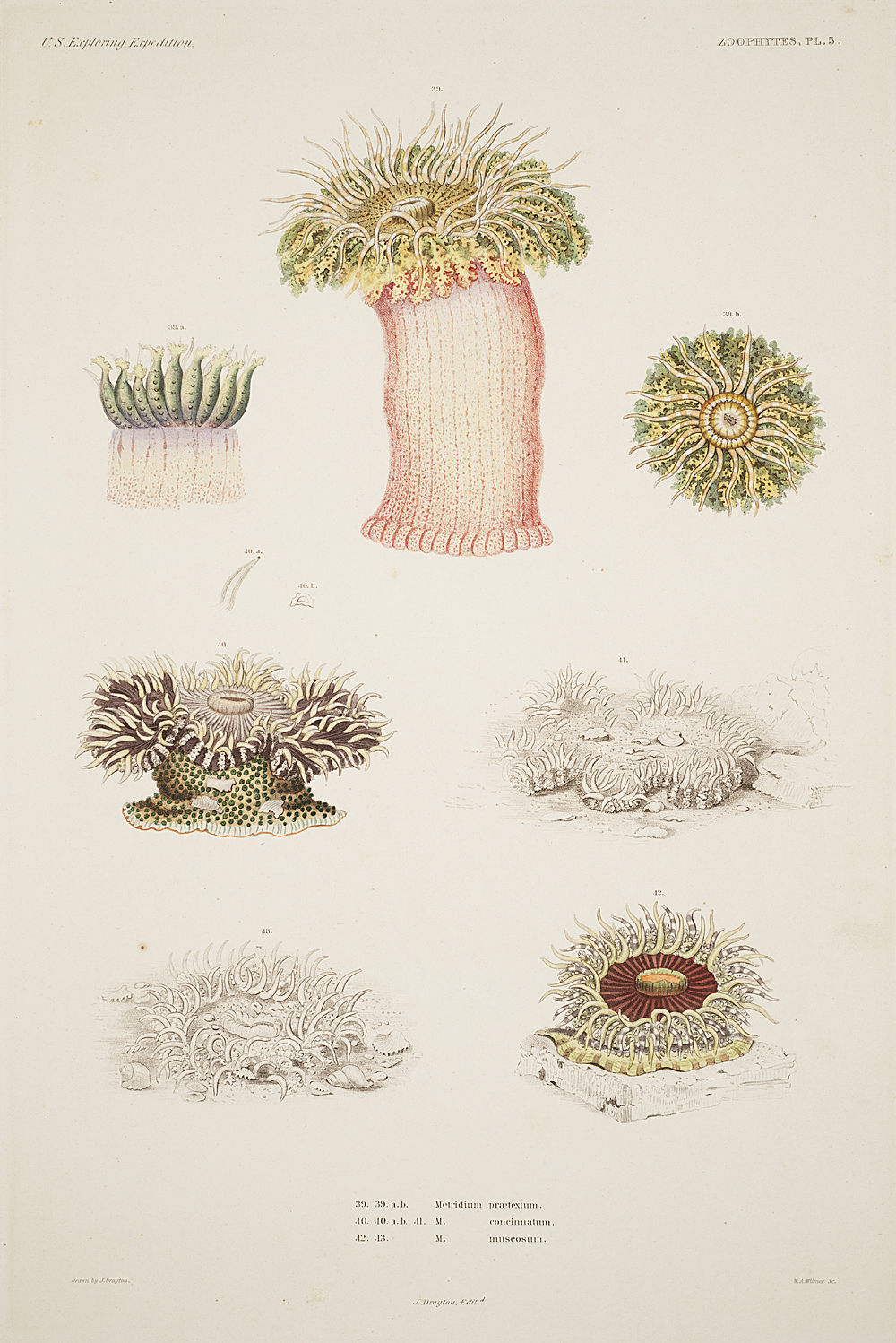 Zoophytes, Plate 5,  Image number:sil19-09-027b