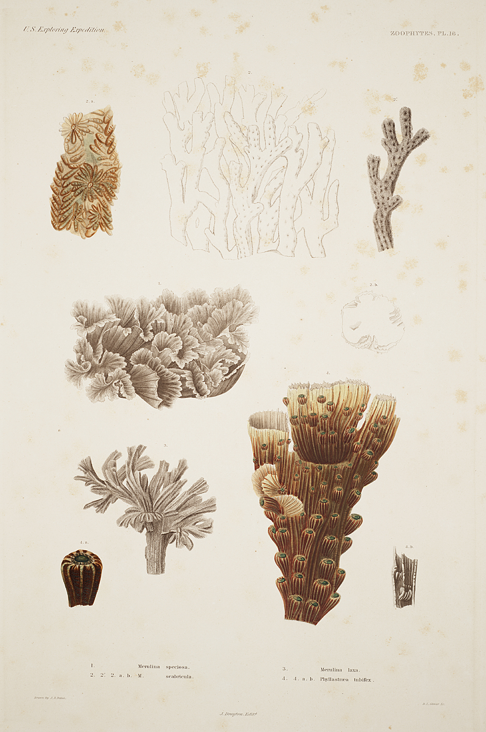 Zoophytes, Plate 16,  Image number:sil19-09-049b
