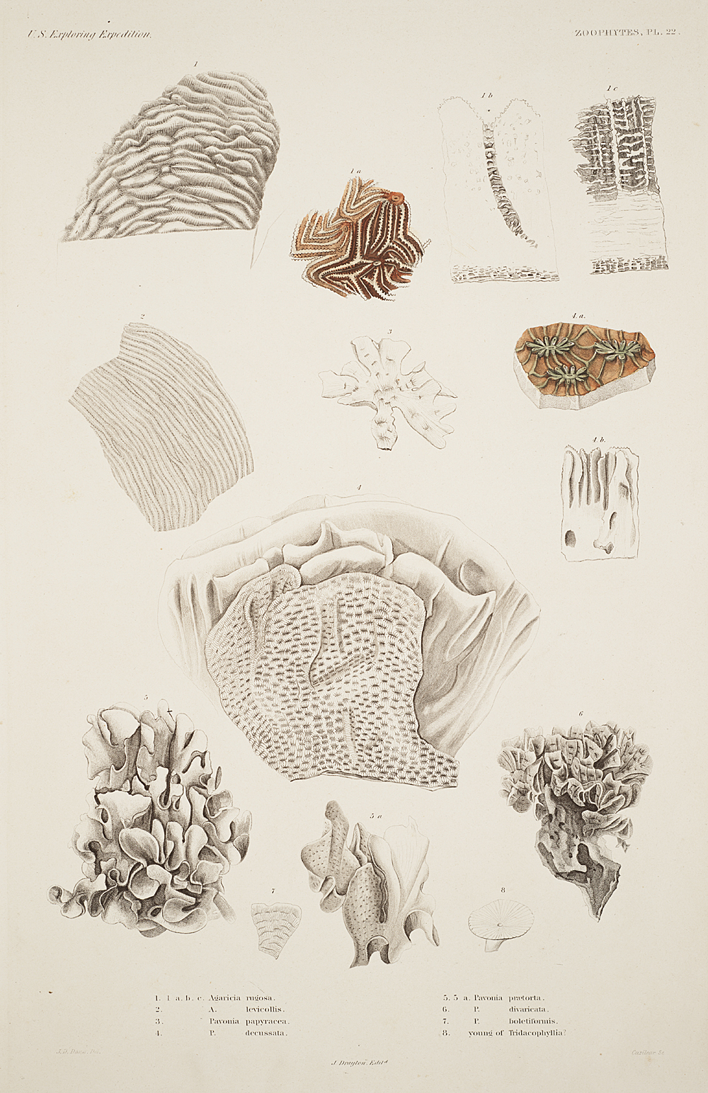 Zoophytes, Plate 22,  Image number:sil19-09-061b