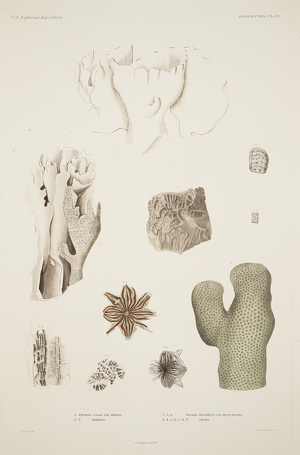 Zoophytes, Plate 24,  Image number:sil19-09-065b
