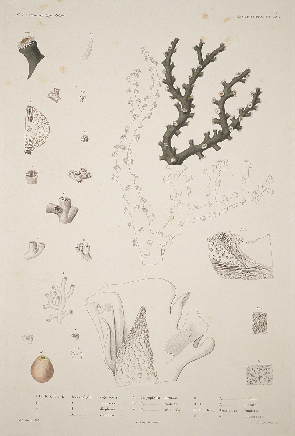 Zoophytes, Plate 27,  Image number:sil19-09-071b