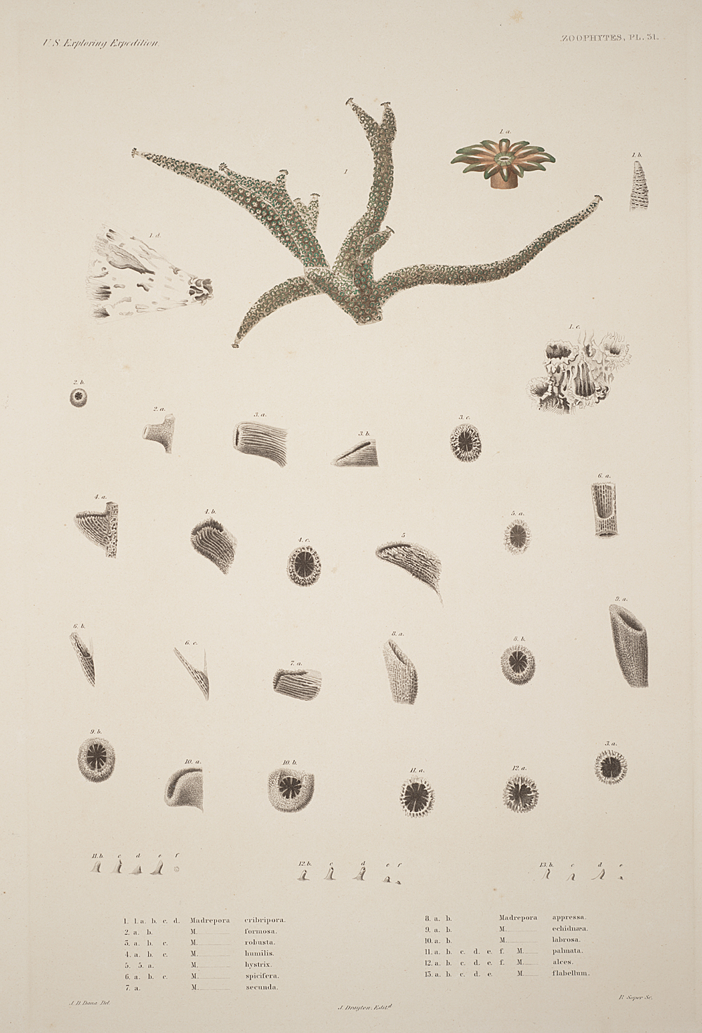 Zoophytes, Plate 31,  Image number:sil19-09-079b