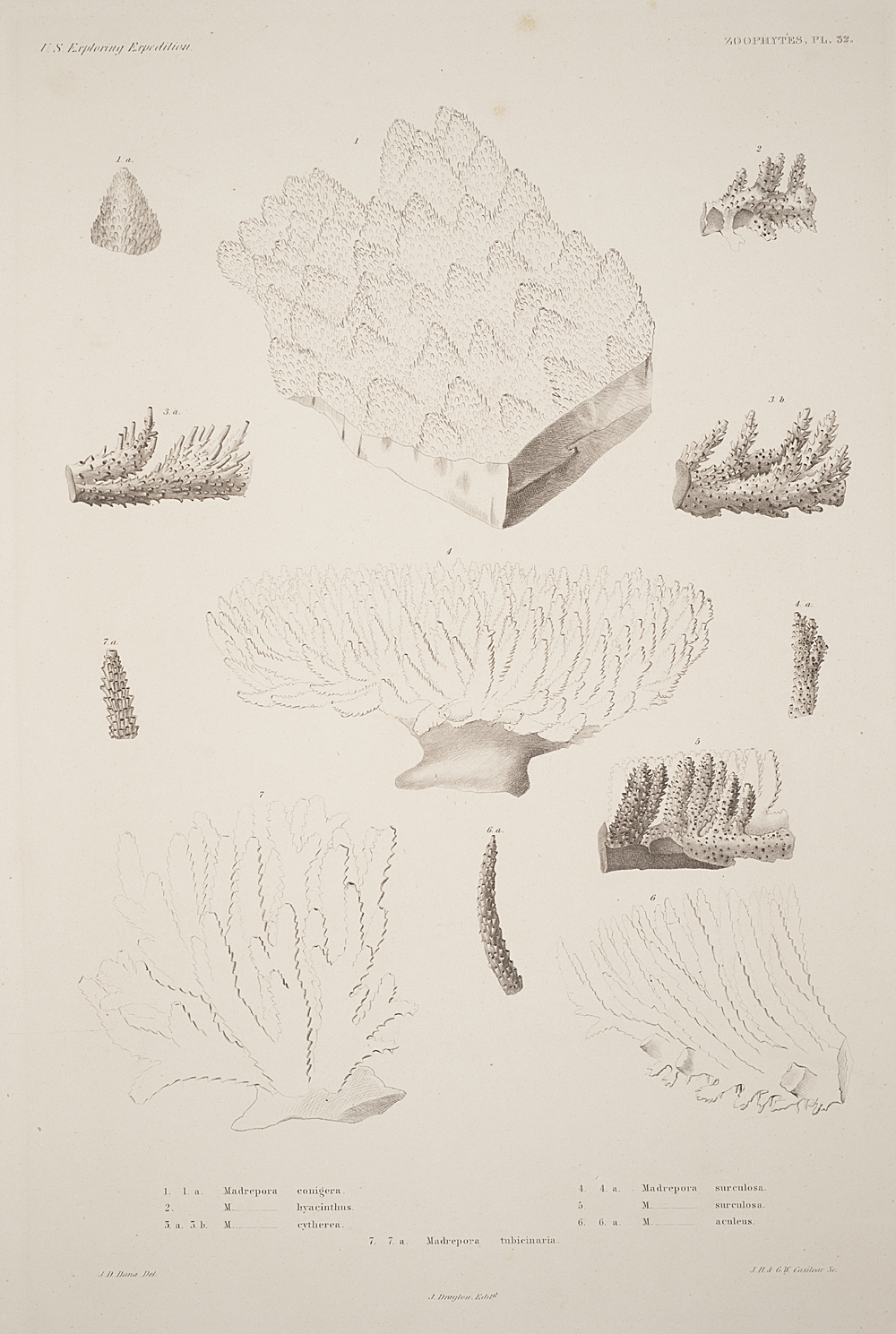 Zoophytes, Plate 32,  Image number:sil19-09-081b
