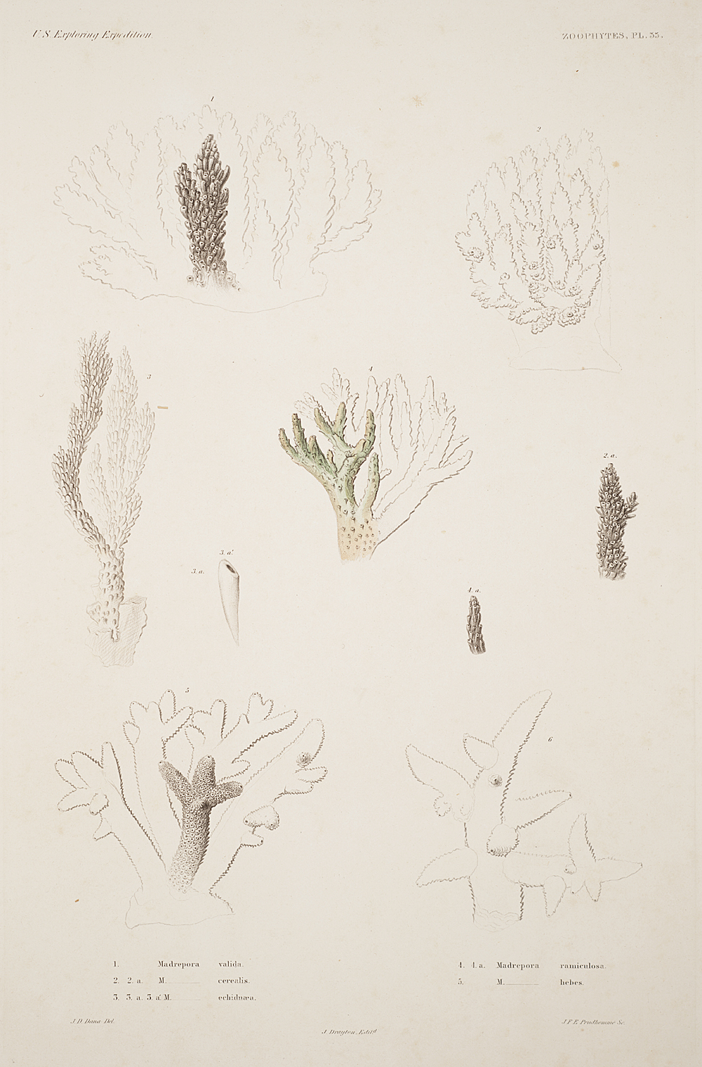 Zoophytes, Plate 35,  Image number:sil19-09-087b
