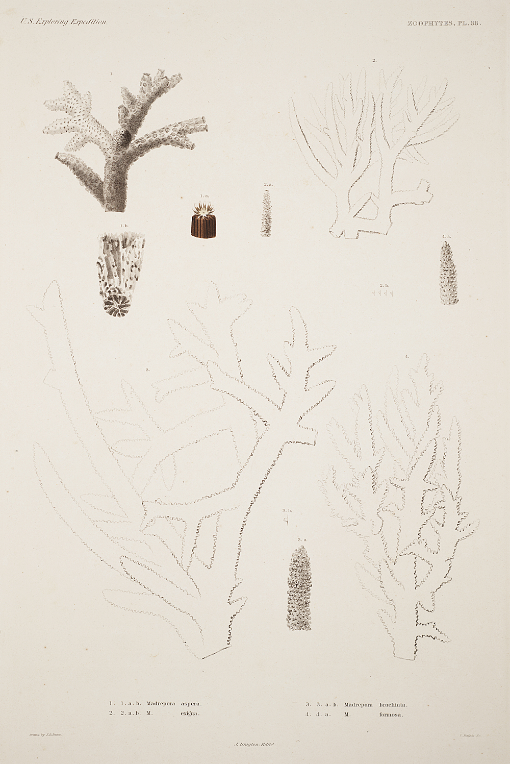 Zoophytes, Plate 38,  Image number:sil19-09-093b