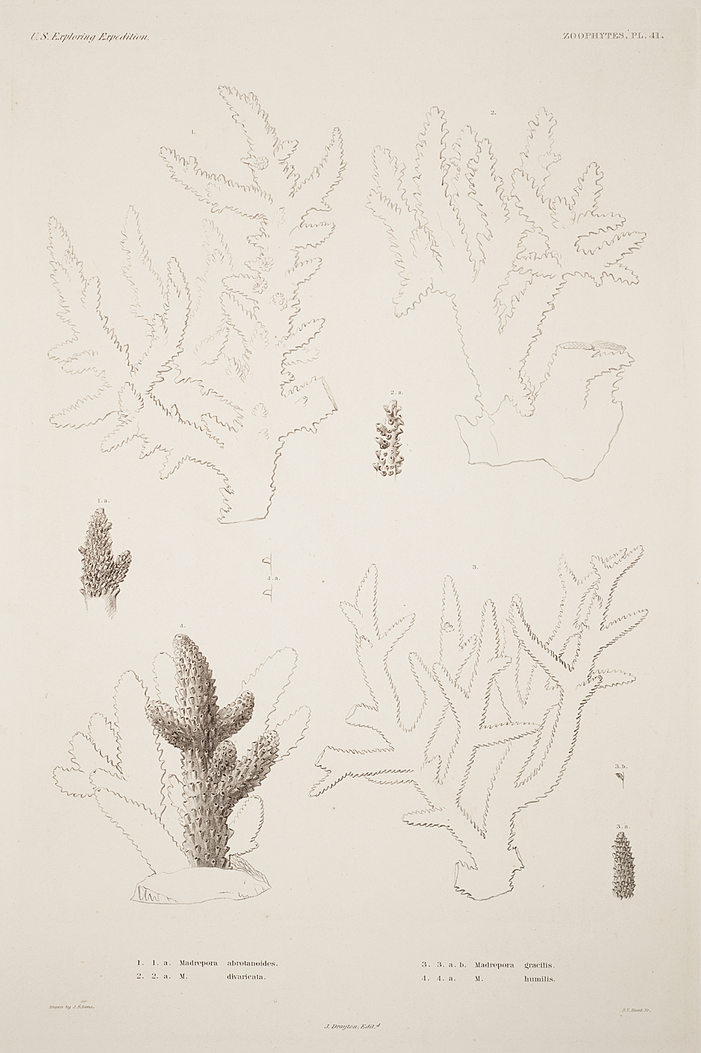 Zoophytes, Plate 41,  Image number:sil19-09-099b