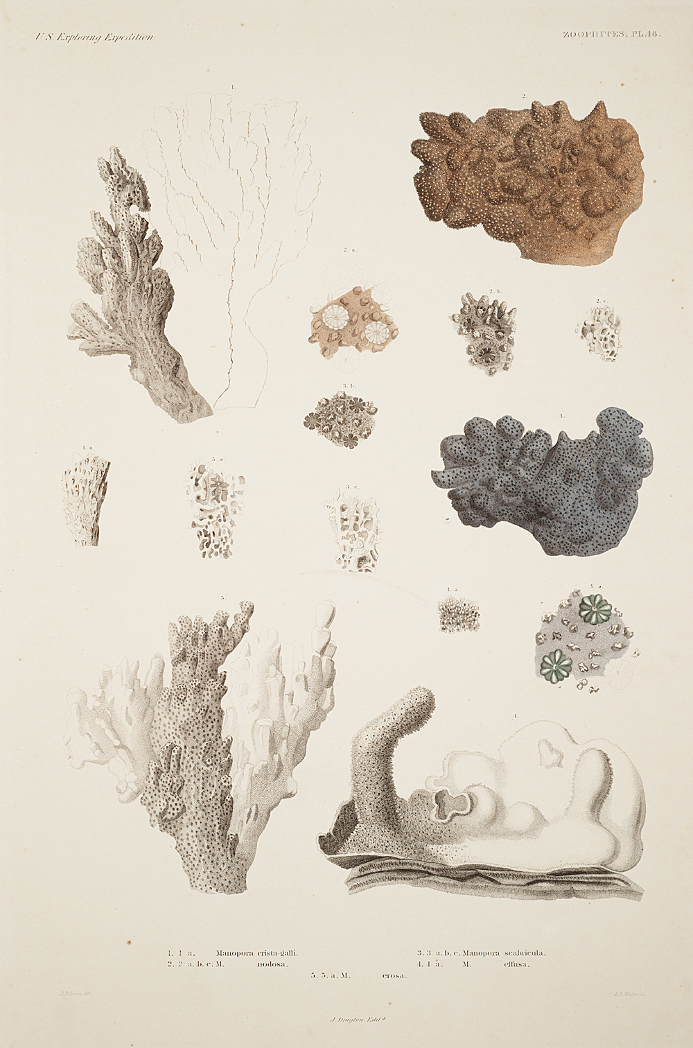 Zoophytes, Plate 46,  Image number:sil19-09-109b