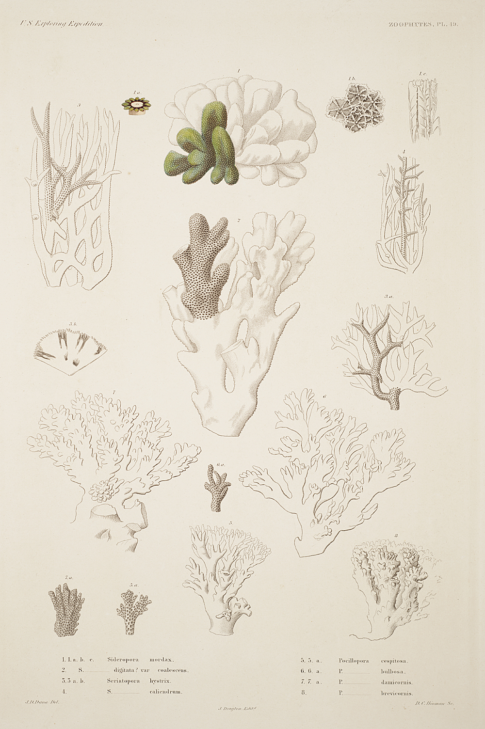 Zoophytes, Plate 49,  Image number:sil19-09-115b