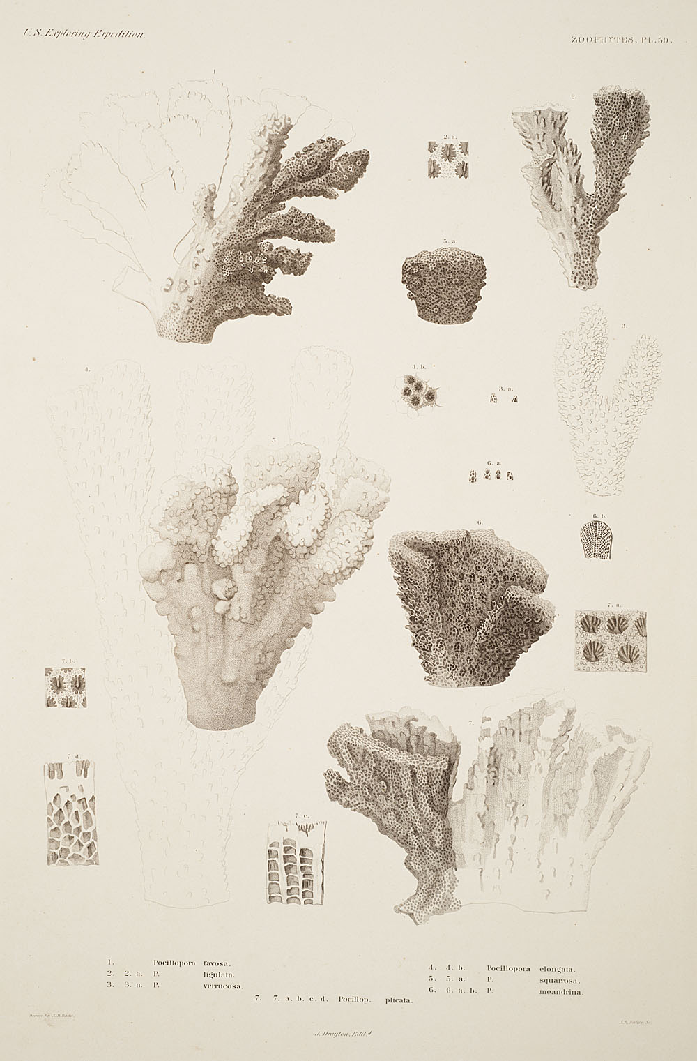 Zoophytes, Plate 50,  Image number:sil19-09-117b