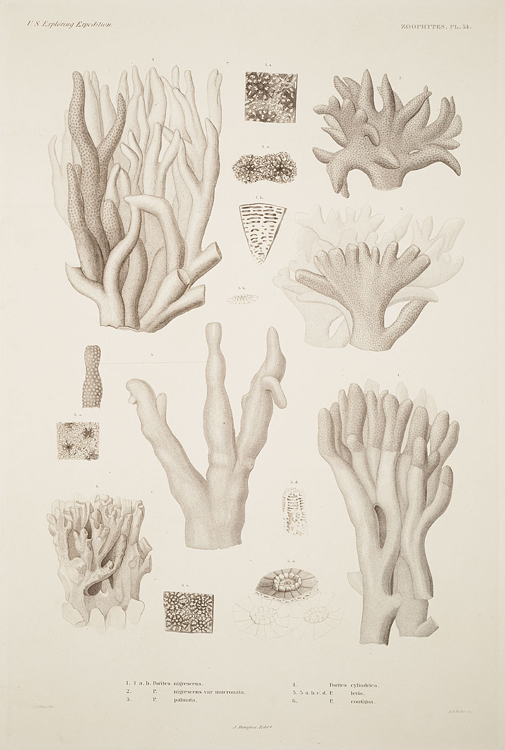 Zoophytes, Plate 54,  Image number:sil19-09-125b