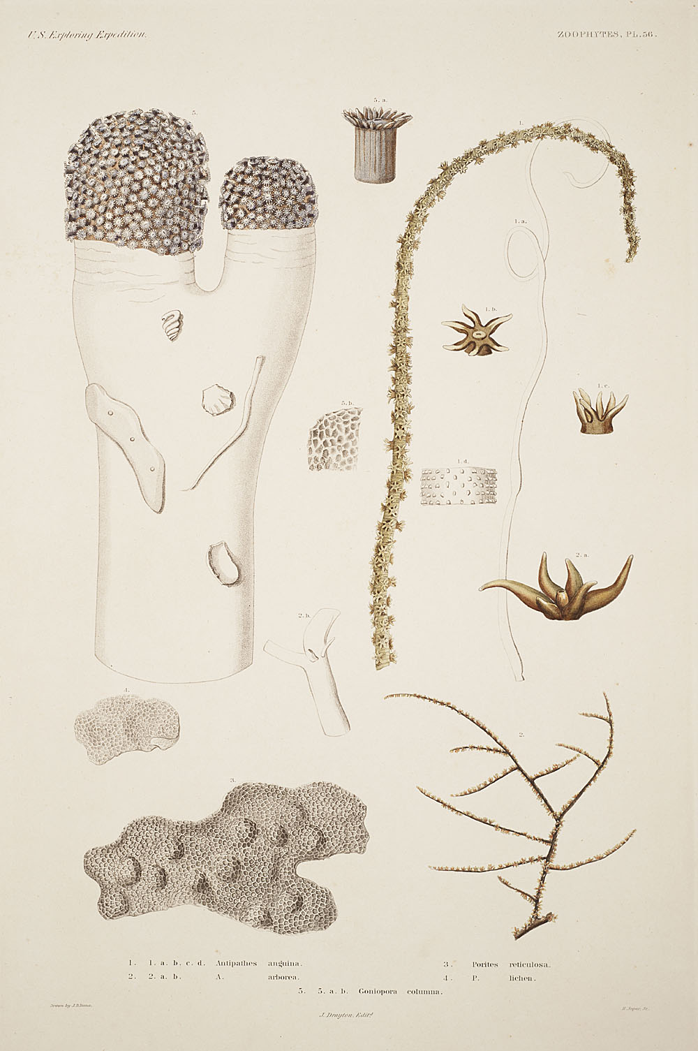 Zoophytes, Plate 56,  Image number:sil19-09-129b