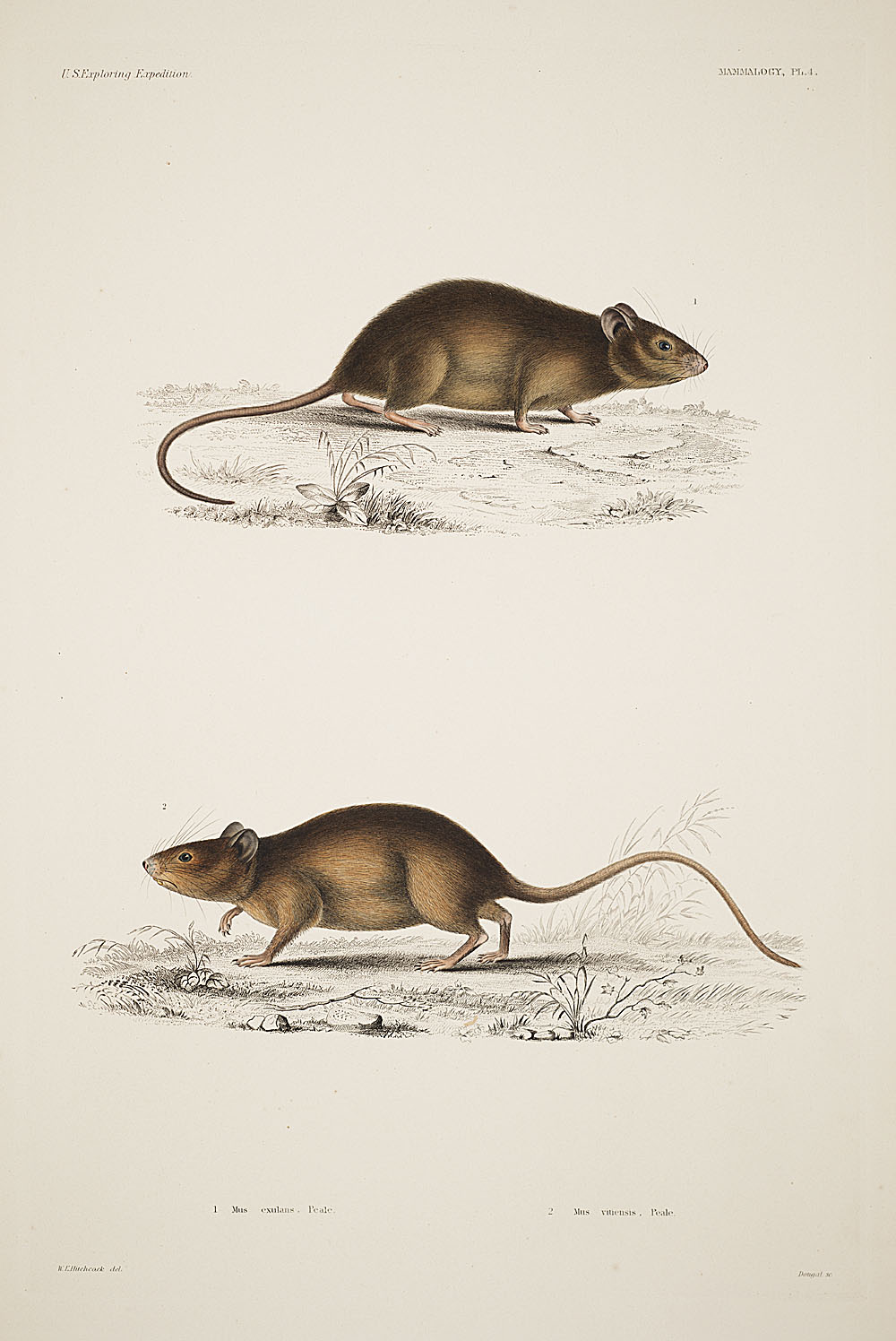 Mice,  Image number:sil19-12-017b