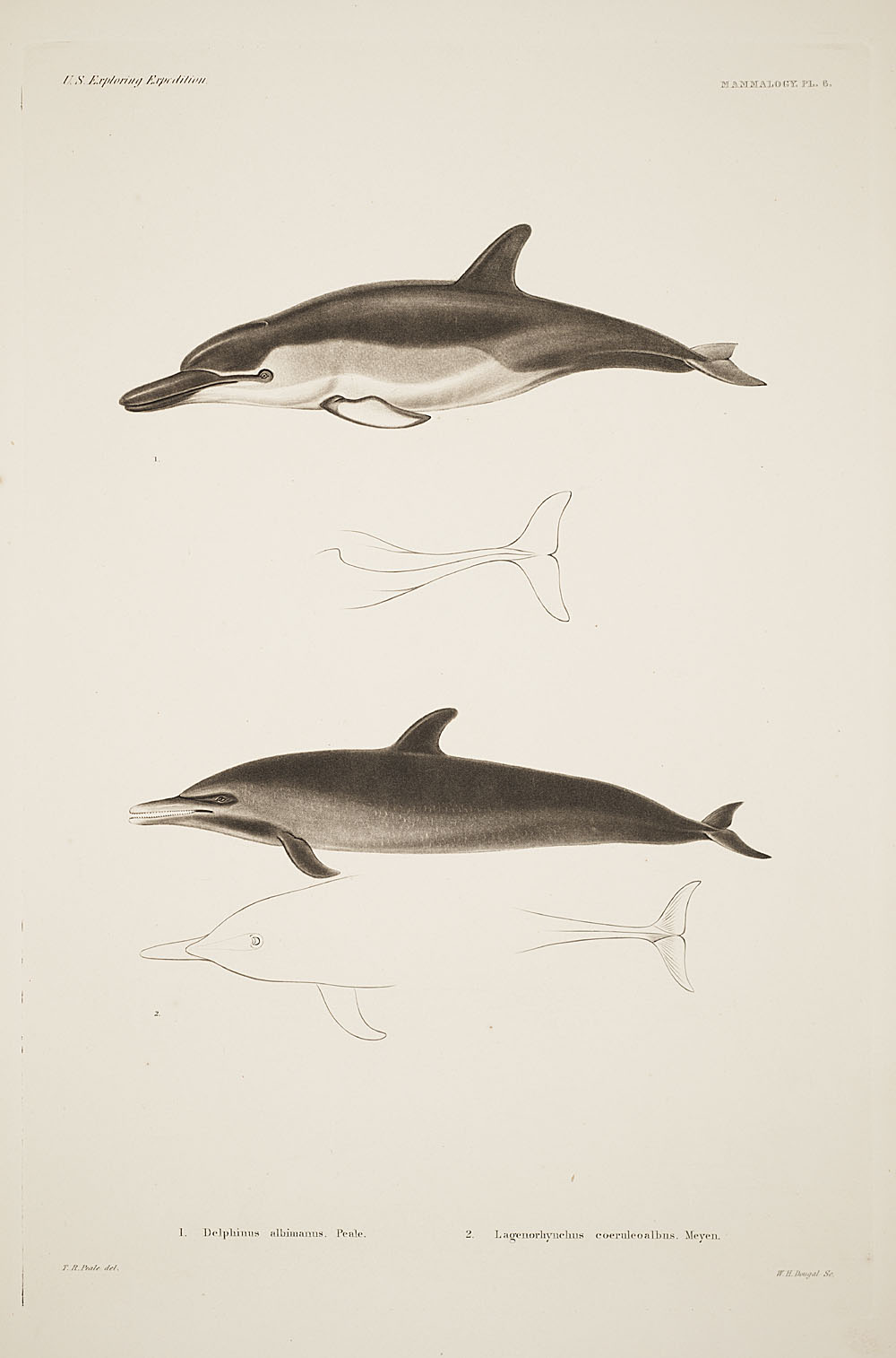 Dolphins,  Image number:sil19-12-021b