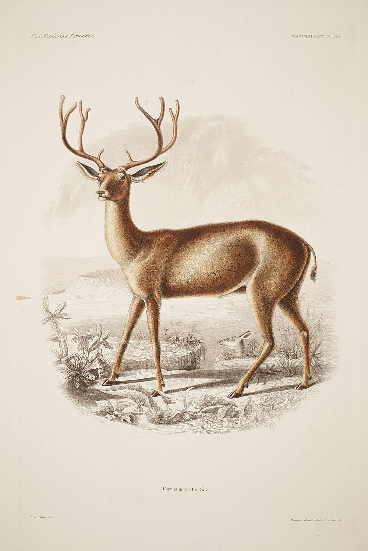 Deer,  Image number:sil19-12-029b