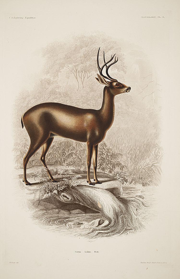 Deer,  Image number:sil19-12-031b