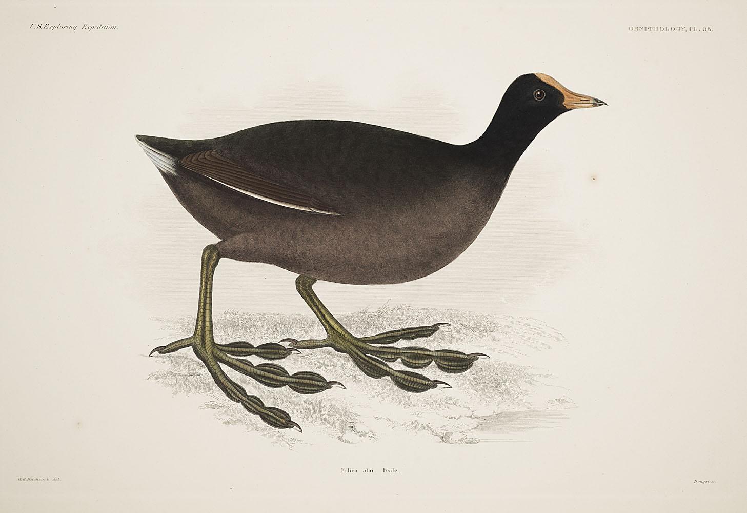 Ornithology, Pl. 36,  Image number:sil19-12-103b