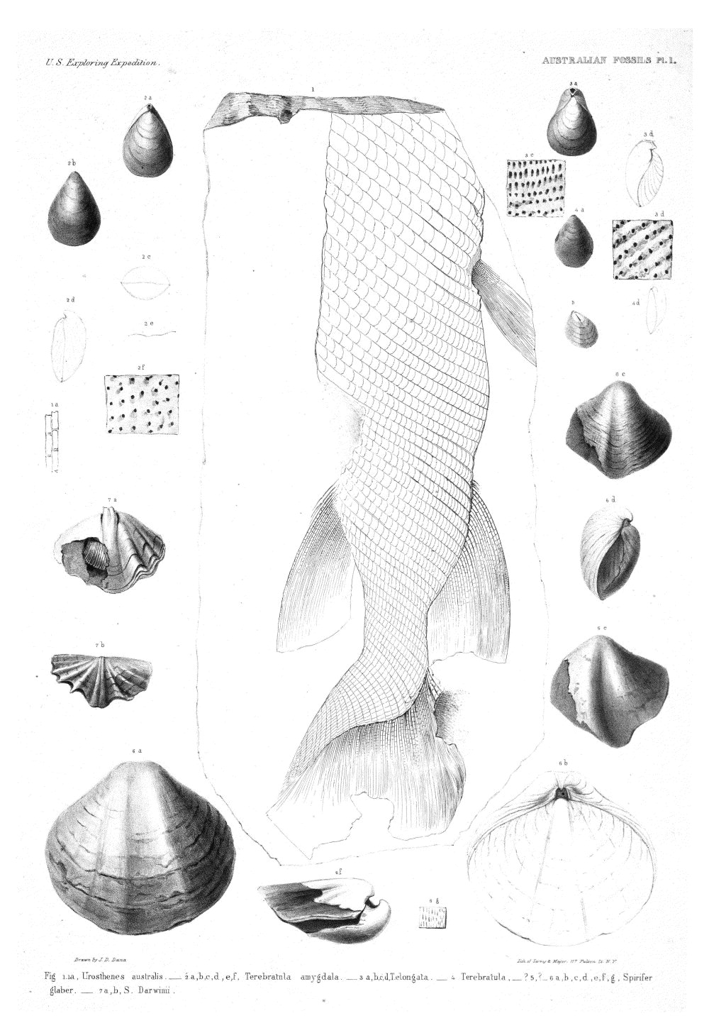 Australian Fossils, Plate 1,  Image number:Sil19-15-007