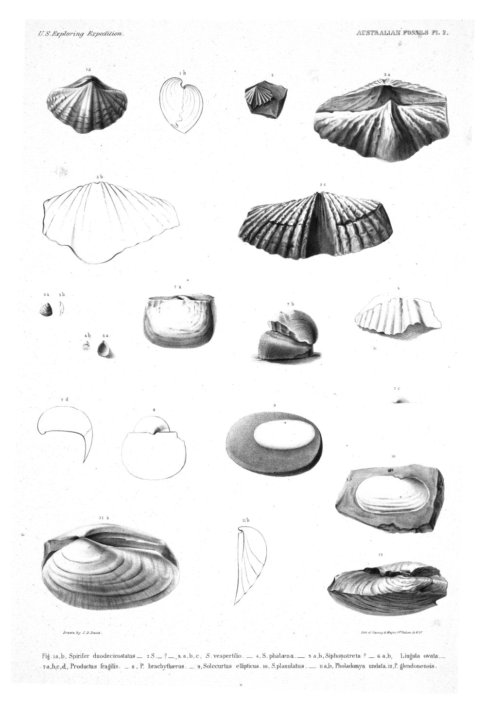 Australian Fossils, Plate 2,  Image number:Sil19-15-008