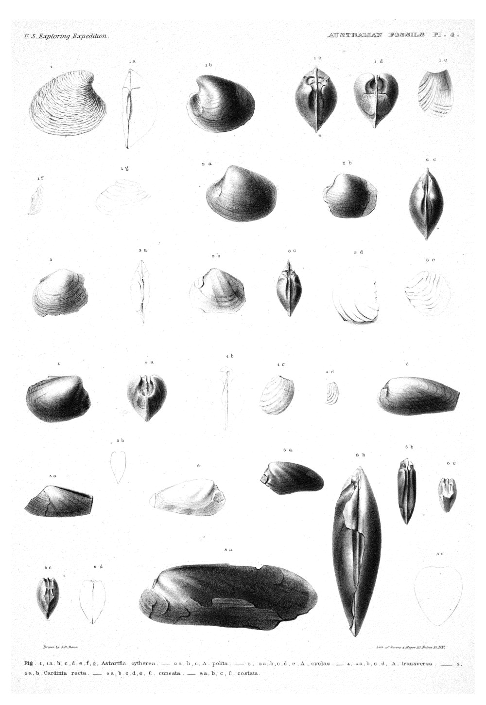 Australian Fossils, Plate 4,  Image number:Sil19-15-010